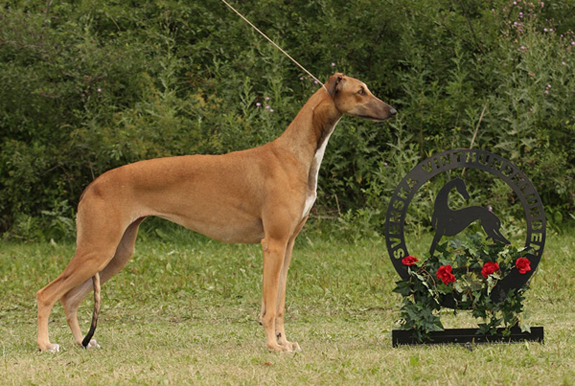 BIR greyhound